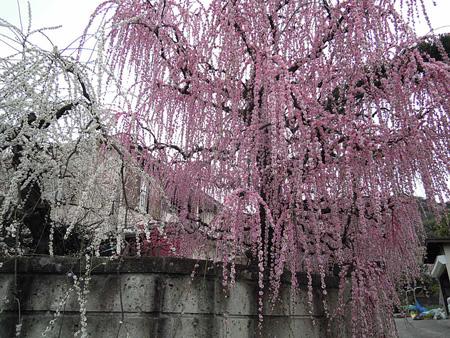 梅林近くの家の枝垂れ梅