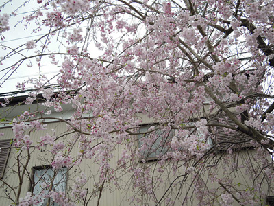鈴川沿いの枝垂れ桜