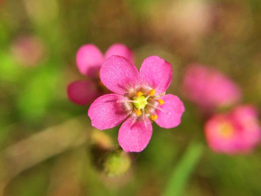 トウカイコモウセンゴケの花。