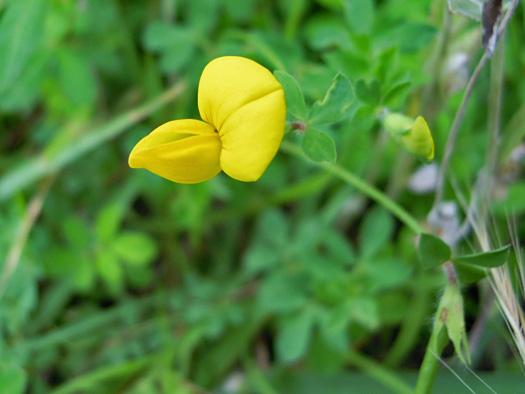 ミヤコグサの花の写真。