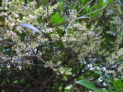 シャシャンボの花の写真。