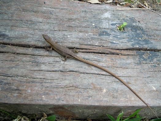 カナヘビの写真。