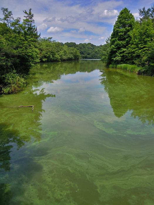 水が緑色の岩本池