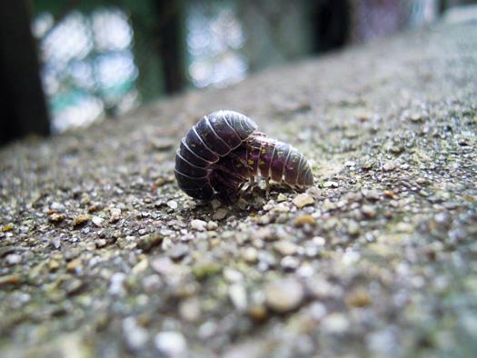 ダンゴムシの交尾の写真1。