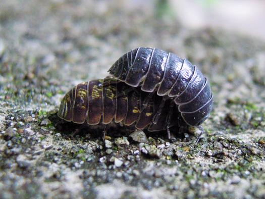ダンゴムシの交尾の写真2。