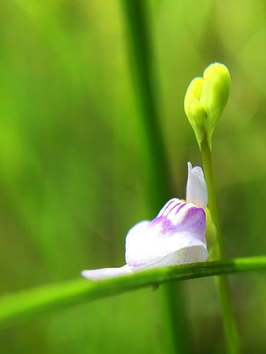 ホザキノミミカキグサの花のアップ。