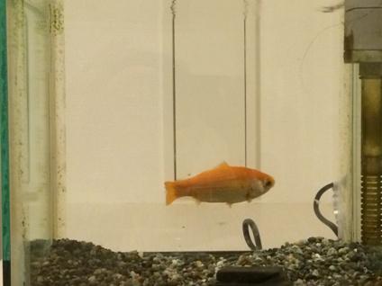 金魚 (6)