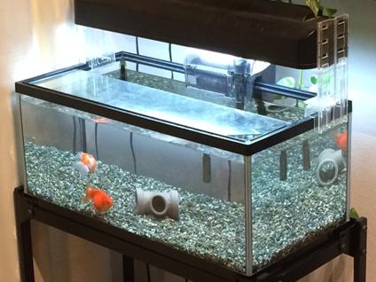 金魚 (3)