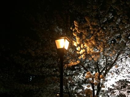 桜2015 (18)