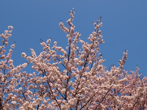 モエレの桜02(2015.04.29)