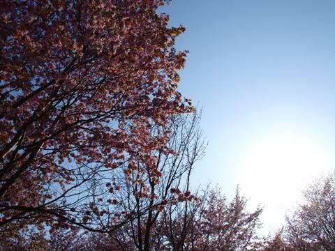 モエレの桜03(2015.04.29)