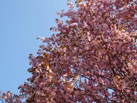 モエレの桜04(2015.04.29)