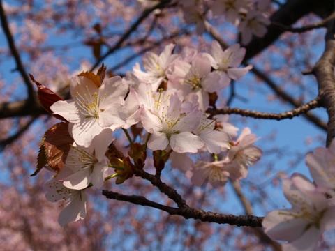 モエレの桜05(2015.04.29)
