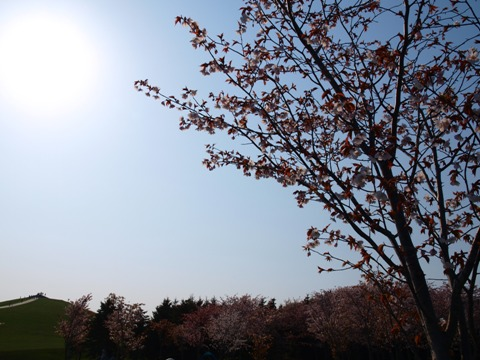 モエレの桜06(2015.04.29)