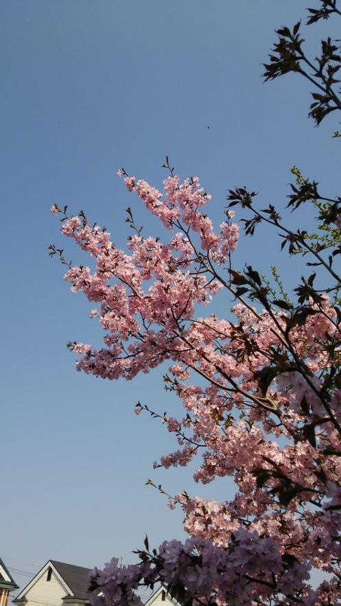 宮殿の桜01(2015.04.29)