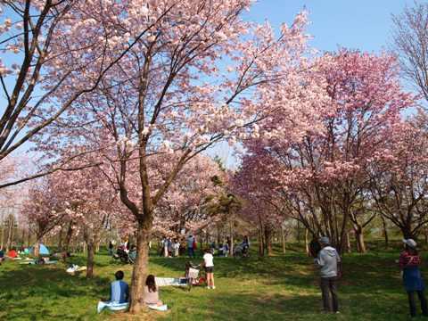 モエレの桜01(2015.04.29)