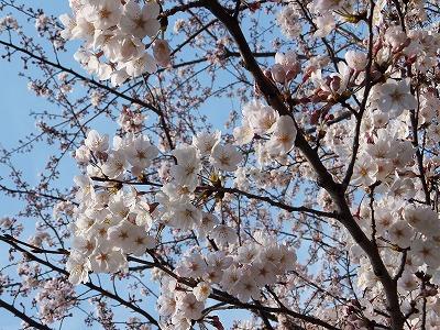 うちの桜 3月28日