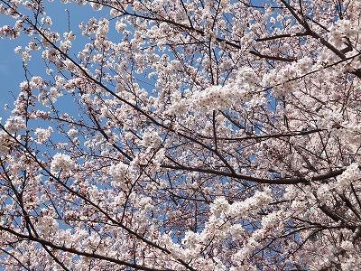 うちの桜 3月29日