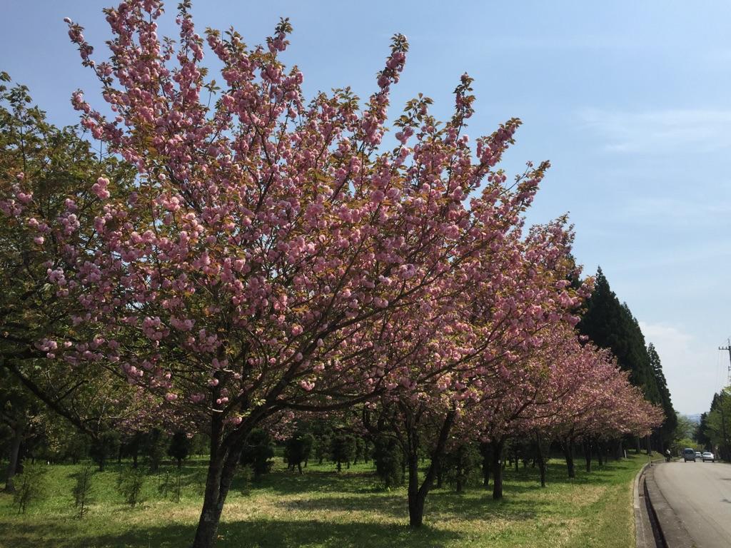 森林研究所:桜