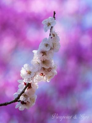 梅の花 G