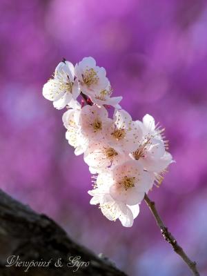 梅の花 F