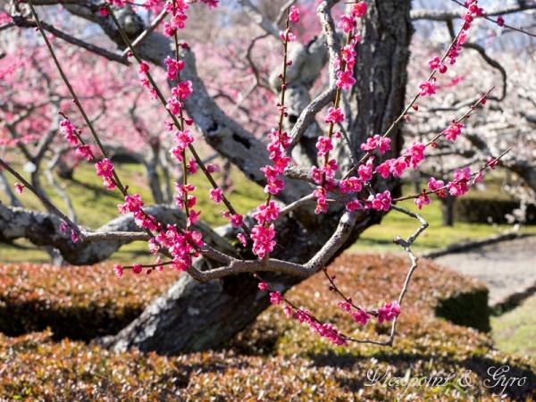 梅の花 I