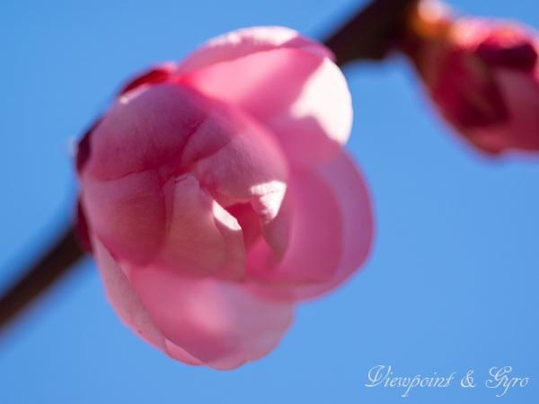 梅の花 D