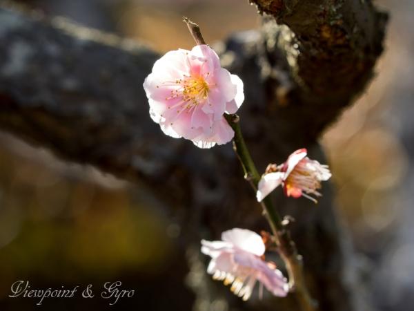 梅の花 H