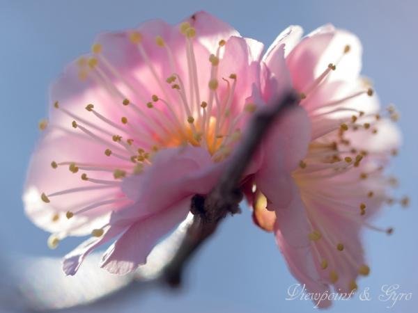 梅の花 A