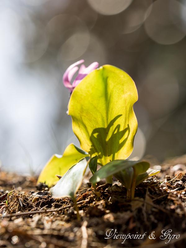 カタクリの花 B