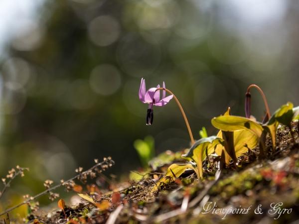 カタクリの花 C
