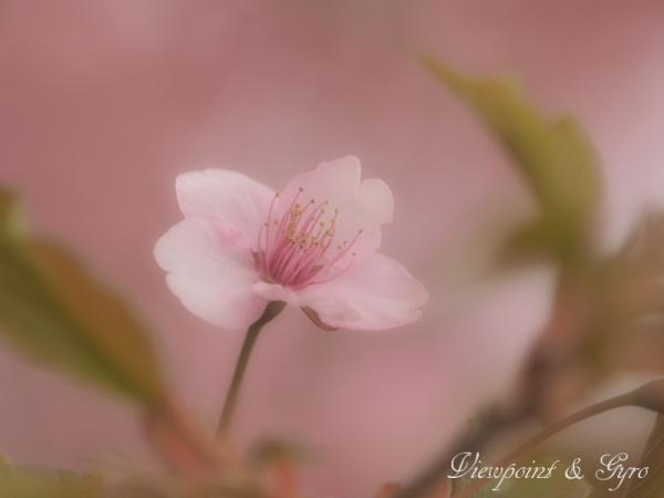 河津桜 E