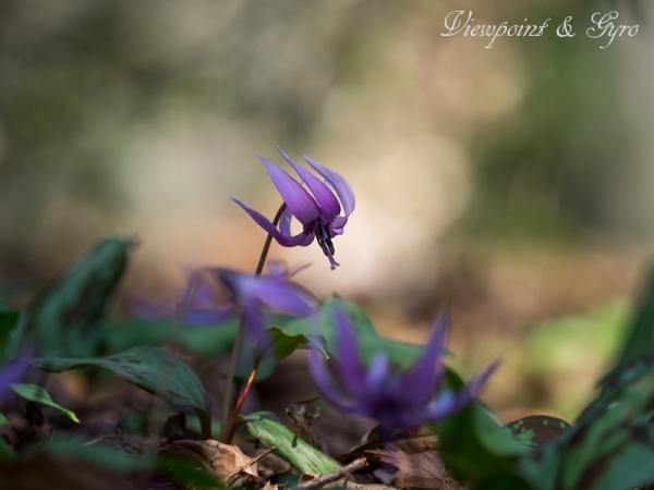 カタクリの花 A