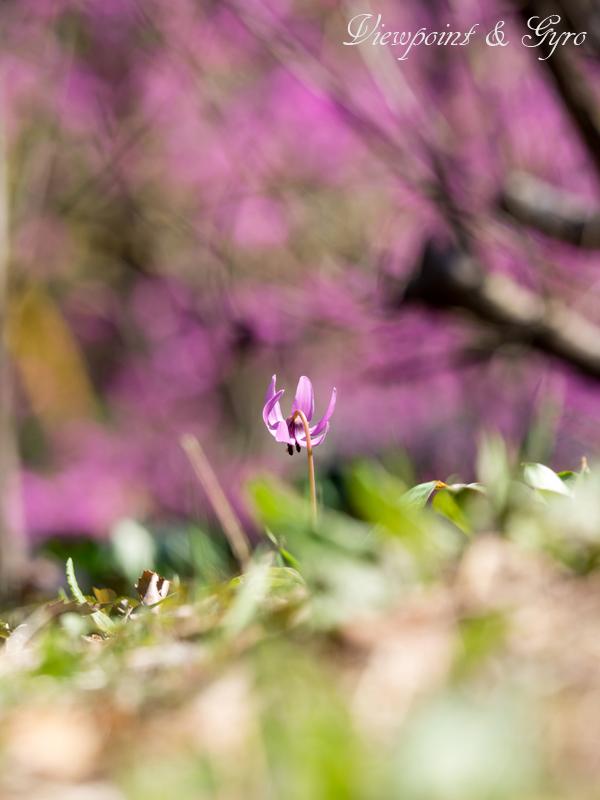 カタクリの花 F