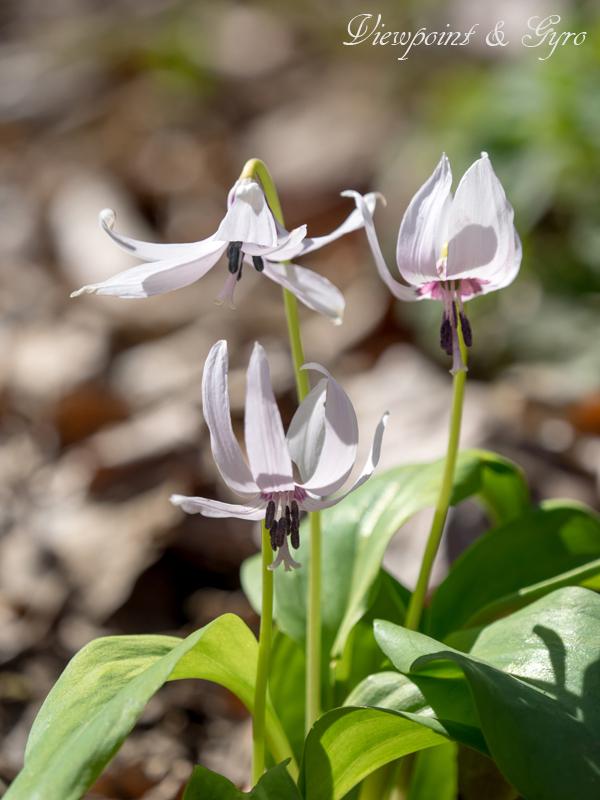 カタクリの花 D