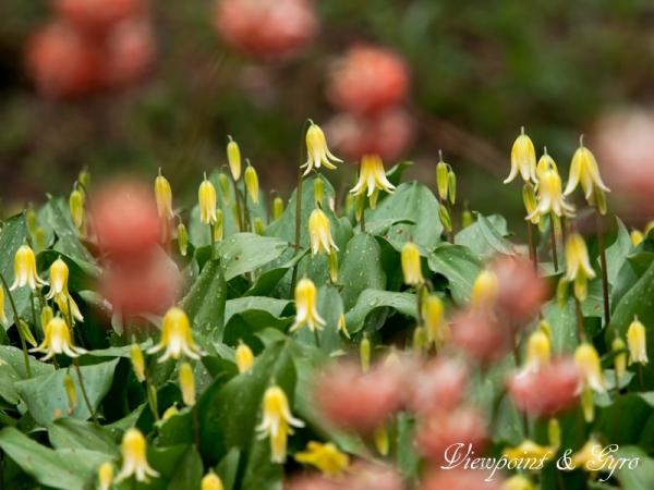 黄花カタクリ A