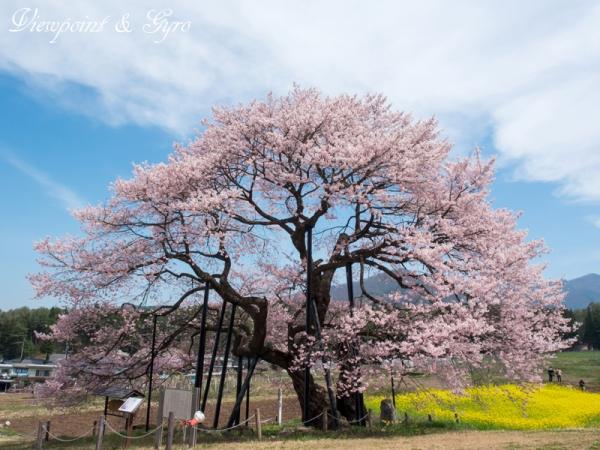 黒部のエドヒガン桜 E