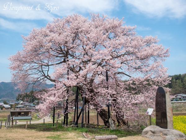 黒部のエドヒガン桜 F