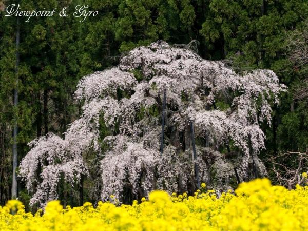 坪井のしだれ桜 I