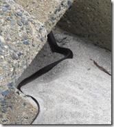 150630028 シマヘビ(カラスヘビ)