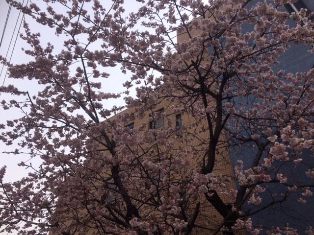 桜0316