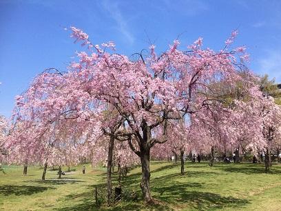 尾久の原桜