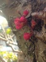 紅梅のつぼみ150331