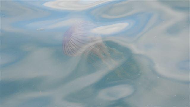 大量のクラゲが il|li _| ̄|● il|li