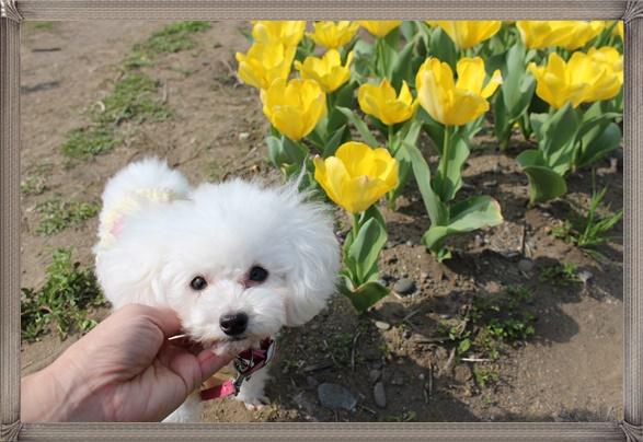 茉莉花と鮮やかな黄色のチューリップ♪