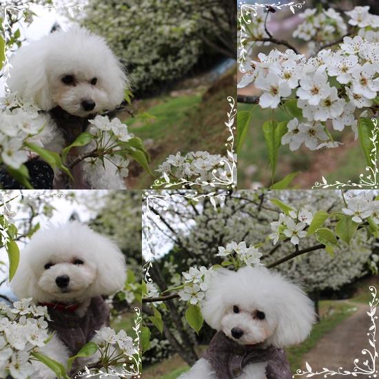 茉莉花とリンゴの花♪