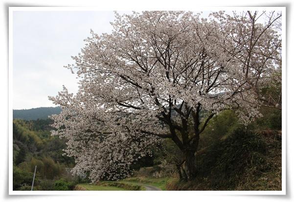 大島桜♪の木♪