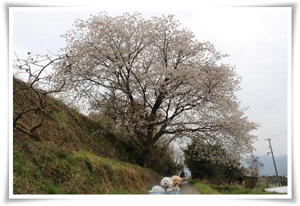 大島桜の大木