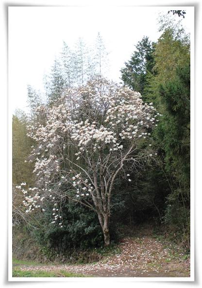 大きな木蓮の木♪