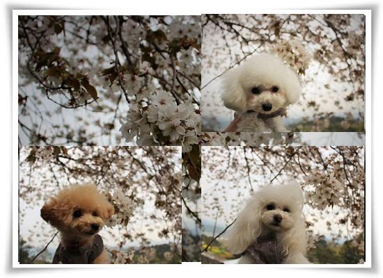 大島桜と♪